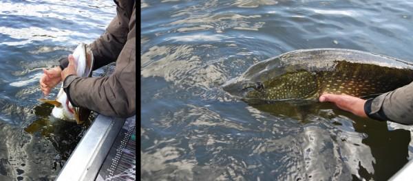 Release. Let op de brede schouders van deze vis.